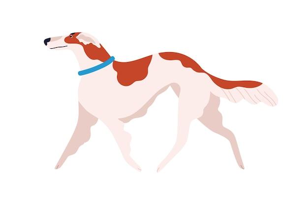 Russische honden greyhound hondenras platte vectorillustratie. schattige cartoon huisdier in blauwe kraag geïsoleerd op een witte achtergrond. elegant rood en wit lopend huisdier.