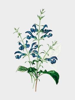 Salvia patens geïllustreerd door charles dessalines d'orbigny (1806-1876).