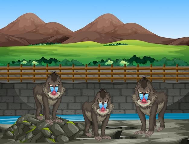 Scène met bavianen in de dierentuin