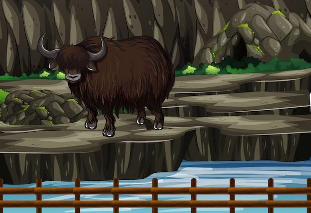 Scène met buffels in de dierentuin