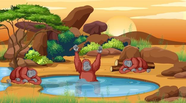 Scène met drie chimpansees bij de vijver