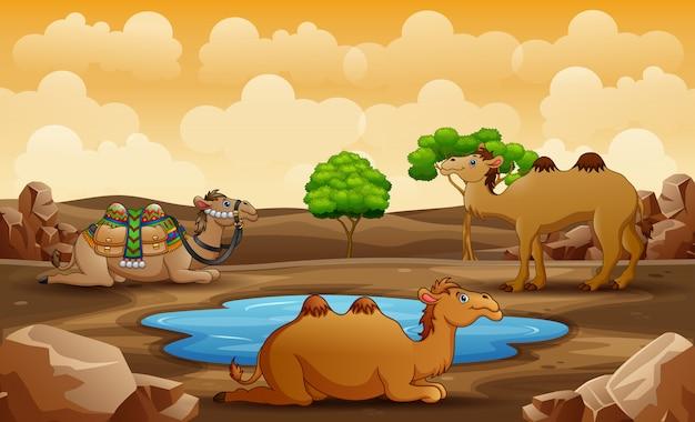 Scène met drie kamelen die op de woestijn ontspannen