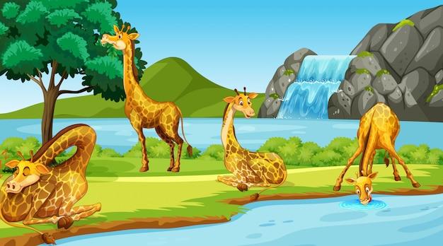 Scène met giraffen door de rivier