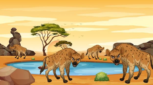 Scène met hyena's in de dersert