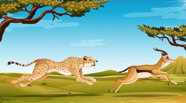 Scène met jachtluipaard die antilope op het savanneveld achtervolgen