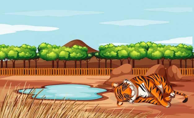 Scène met tijger in de dierentuin