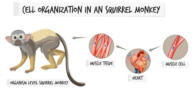 Schema dat de celorganisatie in een eekhoornaap toont