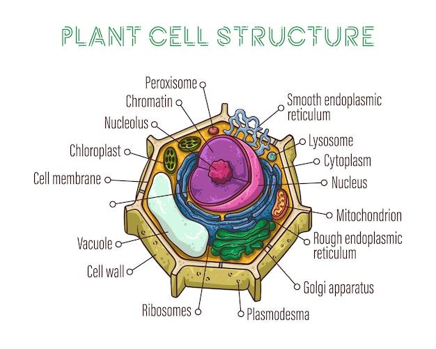 Schematische structuur van plantencellen.