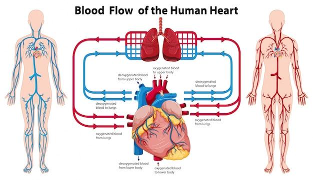 Schematische weergave van de bloedstroom van het menselijk hart