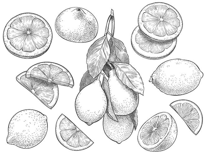 Schets citroen. hand getekend gesneden citroenen, citrusvruchten met bladeren en halve citroen illustratie set.