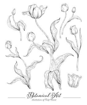 Schets floral botany-collectie, tulpenbloemtekeningen.