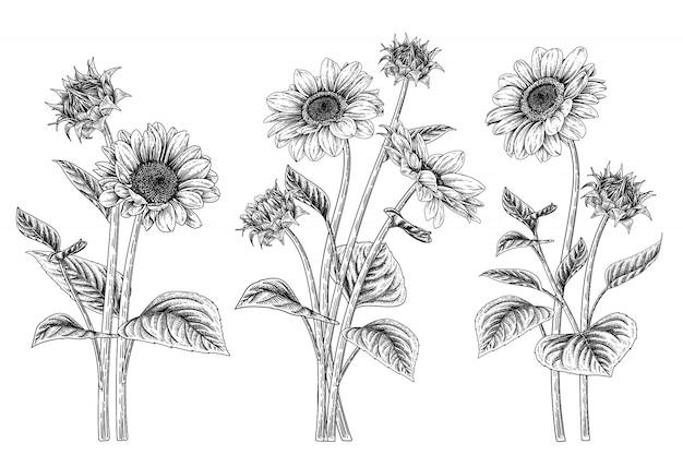 Schets floral decoratieve set. zonnebloem tekeningen.