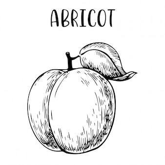 Schets hand getrokken abrikoos
