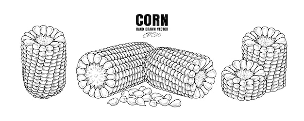 Schets rijp maïs decoratieve set hand getrokken botanische illustraties elementen