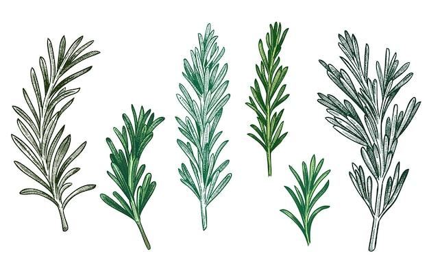 Schets rozemarijn set. verse rozemarijntakken met bladeren voor kruiden, retro houtsnede