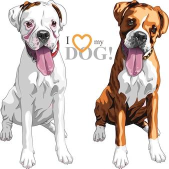 Schets twee binnenlandse hondenras boxer