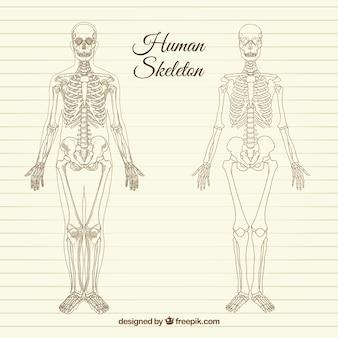 Schetsmatig menselijk skelet