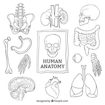 Schetsmatig menselijke anatomie