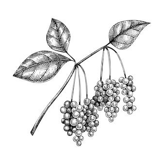 Schisandra. adaptogene plant illustratie. met de hand geschetste magnolia-wijnstok.