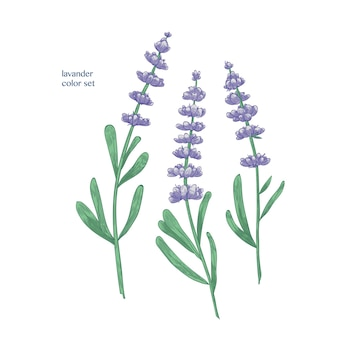 Schitterende paarse lavendelbloemen en groene bladeren
