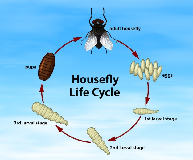 Science housefly life cycle
