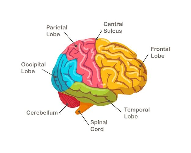 Secties van het menselijk brein. anatomie. zijaanzicht van orgel