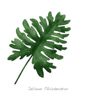 Selloum philodendron-blad op witte achtergrond wordt geïsoleerd die