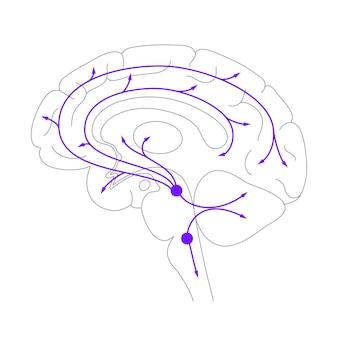 Serotonineroute in het menselijk brein. monoamine neurotransmitter. modulerende stemming platte vector.