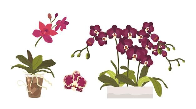 Set cartoon orchideeën, knoppen, bladeren en wortels in bloempotten. verschillende tropische of binnenlandse bloesems, mooie bloeiende flora, orchideeën ontwerpelementen geïsoleerd op een witte achtergrond. vectorillustratie