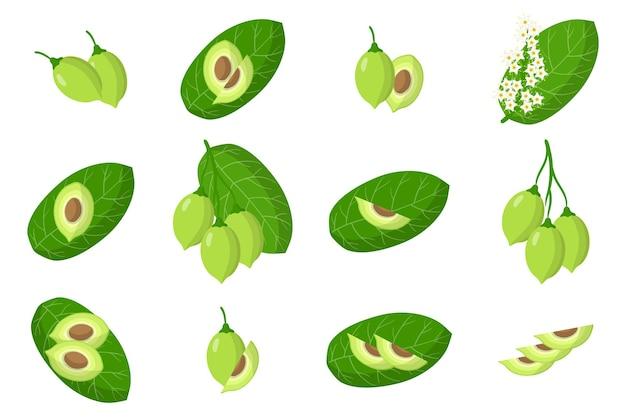 Set illustraties met kakadu pruim exotisch fruit, bloemen en bladeren geïsoleerd