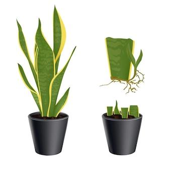 Set illustration vegetatieve vermeerdering van een plant sansevieria trifasciata in pot. op witte achtergrond.