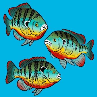 Set redbreast bluegill voor het verzamelen van gamefish