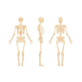 Set skeletten geïsoleerd