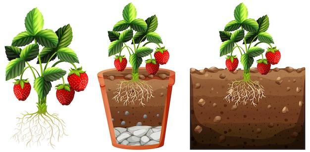 Set van aardbeienplant met wortels geïsoleerd
