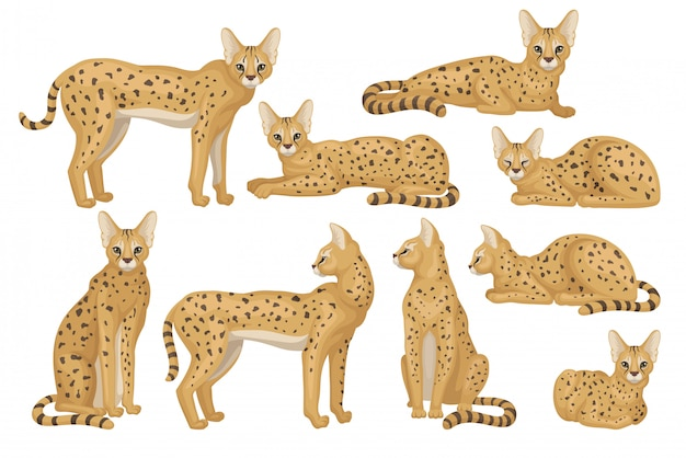 Set van afrikaanse serval. sierlijke wilde kat met grote oren en zwarte vlekken op bruine vacht. roofzuchtig dier Premium Vector