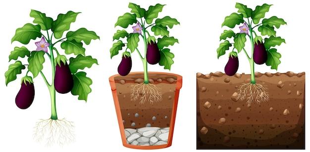 Set van aubergine plant met wortels geïsoleerd op een witte achtergrond
