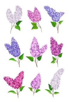 Set van bloeiende seringen van verschillende kleuren