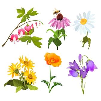 Set van bloeiende veldplanten echinacea, bloedende hartbloemen, gele arnica, violette altviool