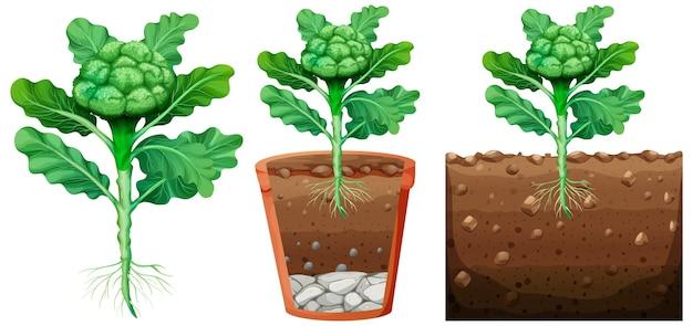Set van broccoli plant met wortels geïsoleerd op een witte achtergrond