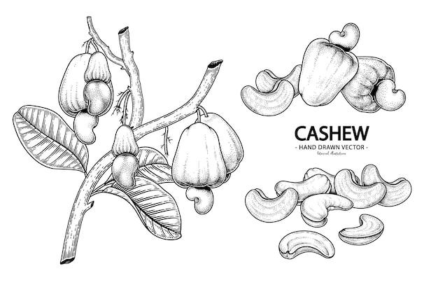 Set van cashew fruit hand getrokken elementen botanische illustratie