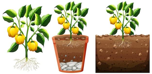 Set van gele paprika plant met wortels geïsoleerd op wit