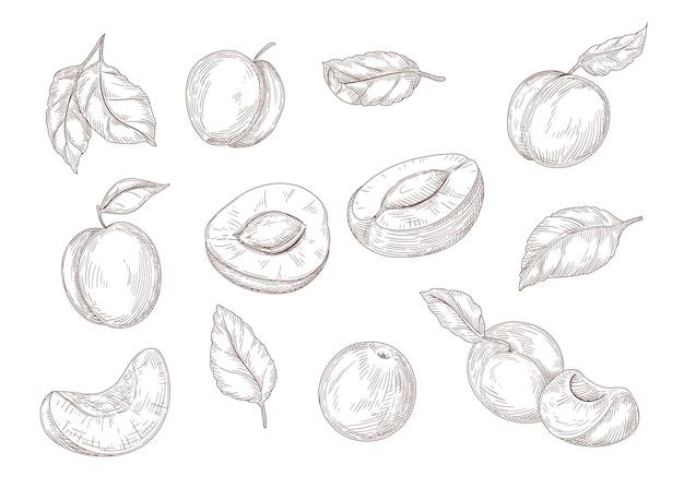 Set van gravure monochrome tekeningen van abrikoos