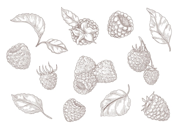 Set van gravure monochrome tekeningen van framboos