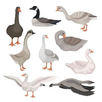 Set van grijze en witte ganzen in verschillende acties. wilde en boerderijdieren met lange nek. fauna thema