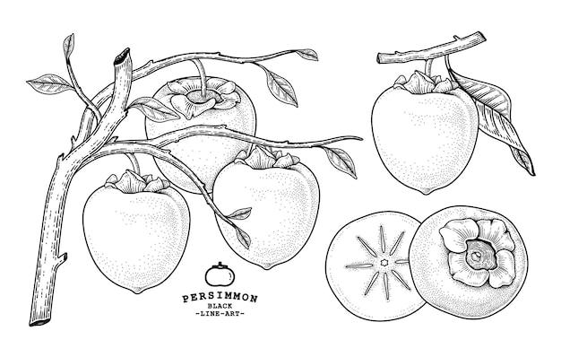 Set van hachiya persimmon fruit hand getrokken elementen botanische illustratie