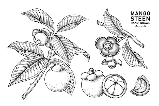 Set van mangosteenvrucht hand getrokken elementen botanische illustratie