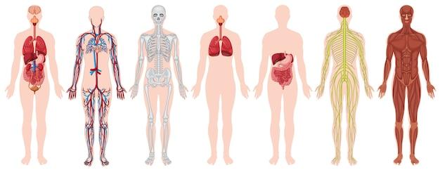 Set van menselijk lichaam en anatomie