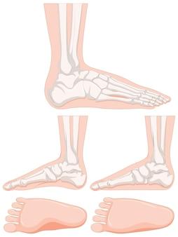 Set van menselijk voetbeen