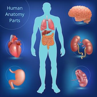 Set van menselijke anatomie onderdelen