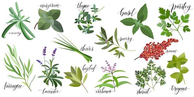 Set van populaire keukenkruiden met handgeschreven namen. rozemarijn, majoraan, tijm, basilicum, peterselie, bieslook, bonenkruid, sumak, dragon lavendel laurier verbena kervel oregano